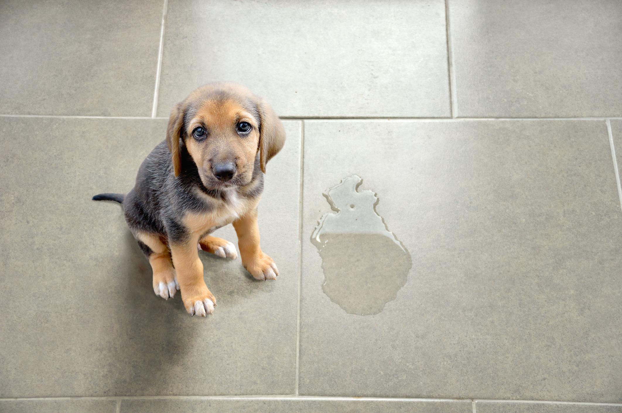 Xixi do cachorro